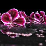 Schöner Badekurorthintergrund der blühenden dunklen purpurroten Pelargonienblume Stockfoto