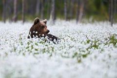 Schöner Bär unter dem Wollgras Stockfotos