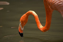 Flamingos, Jurong Vogel-Park, Singapur Lizenzfreies Stockbild
