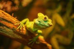 Schöner großer Leguan Stockfotografie