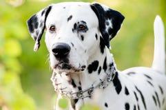 Schöner junger dalmatinischer Hund in der Natur Stockbilder