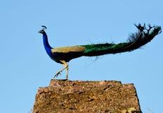 Schöner männlicher Vogel des Peafowl (Pfau) Stockfoto