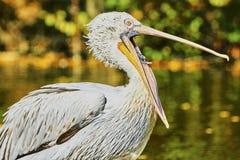 Schöner Pelikan mit offenem Mund Stockfotografie