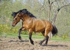 Schöner roan Stallion, der in der Koppel spielt Stockbilder