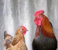 Schöner schwarz-roter Brandhahn und braunes Huhn Stockfotografie
