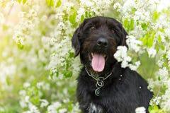 Schöner schwarzer Hund, der am Frühlingsbaum in der Blüte aufwirft Stockfotos