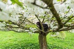 Schöner schwarzer Hund, der am Frühlingsbaum in der Blüte aufwirft Stockfoto