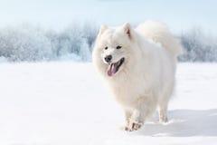 Schöner weißer Samoyedhund, der auf Schnee im Winter läuft Stockbild
