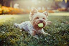 Schöner Yorkshire-Terrier, der mit einem Ball auf einem Gras spielt Lizenzfreie Stockfotos