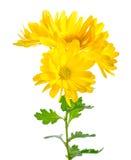 Schöner Zweig der gelben Chrysantheme wird auf Weißrückseite lokalisiert Lizenzfreie Stockfotografie