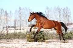Schönes braunes Pferd, das frei läuft Lizenzfreie Stockbilder