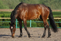 Schönes braunes Pferd in der Koppel Stockfotografie