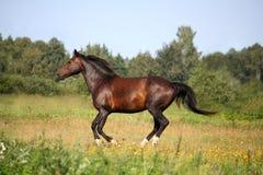 Schönes Buchtpferd, das an der Weide galoppiert Lizenzfreie Stockfotos