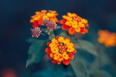 Schönes feenhaftes träumerisches magisches rotes gelb-orangees Blume Lantana camara auf grün-blauem undeutlichem Hintergrund Stockfotos