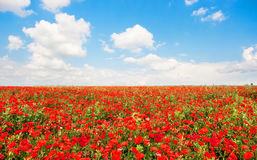 Schönes Feld der roten Mohnblume blüht mit blauem Himmel und Wolken Stockfoto