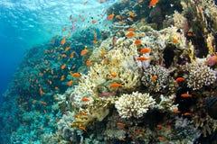Schönes Korallenriff mit anthias Lizenzfreie Stockfotografie