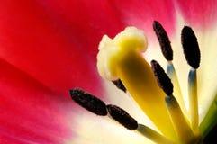 Schönes Makro einer roten Tulpe Stockfoto