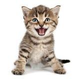 Schönes nettes kleines miauendes und lächelndes Kätzchen Lizenzfreie Stockfotos