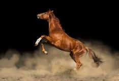 Schönes reinrassiges Pferd Lizenzfreie Stockfotos