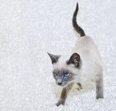 Schönes siamesisches Kätzchen Lizenzfreies Stockfoto