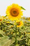 Schönes Sonnenblumefeld Lizenzfreie Stockfotografie