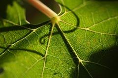 Schönes Trauben-Blatt Stockfotos
