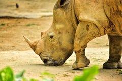 Schönes weißes Nashorn Stockfoto