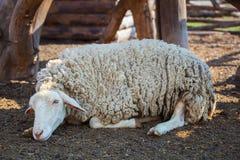 Schönes, weißes, nettes, gelocktes Lamm, das auf dem Boden in der Scheune für die Tiere schläft Lizenzfreie Stockfotos