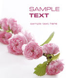Schönheit, rosafarbene Blumen Stockbilder