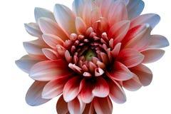 Schnitt der Blume auf wei?em Hintergrund lizenzfreie stockbilder