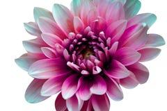 Schnitt der Blume auf wei?em Hintergrund stockfoto