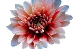 Schnitt der Blume auf wei?em Hintergrund lizenzfreie stockfotografie