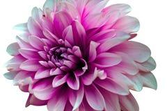Schnitt der Blume auf wei?em Hintergrund stockfotos