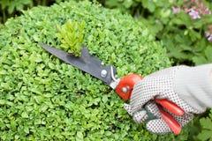 Schnitt der Buchsbaumbüsche Lizenzfreie Stockfotos