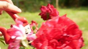 Schnitt von roten Rosen im Garten stock footage