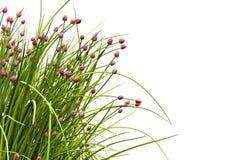 Schnittlauch-Blüte gegen Weiß Lizenzfreies Stockfoto
