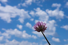Schnittlauchblüte lokalisiert gegen blaue Himmel Stockfotografie
