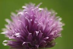 Schnittlauchblume Stockfoto
