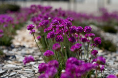 Schnittlauchblumen Stockfoto