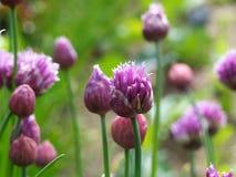 Schnittlauche mit Blumen Stockbilder