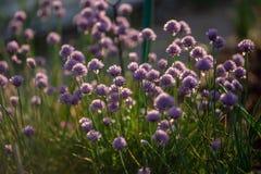 Schnittlauche mit den Blumen gefangen genommen in der Natur in Richtung zum Sonnenuntergang mit Kontrast und kleinem flachem der  stockfoto