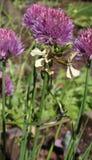 Schnittlauche und Arugula-Blumen Lizenzfreie Stockbilder