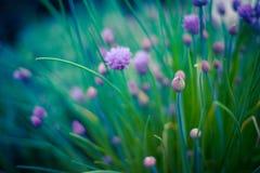 Schnittlauchkrautblumen auf schönem Unschärfehintergrund Blühende Zwiebel im Gemüsegarten Stockfotografie