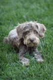Schnoodle. Laying in grass -  is a poodle schnauzer cross Royalty Free Stock Photography