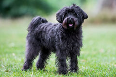 Free Schnoodle Stock Image - 58219921
