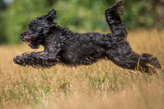 Schnoodle Immagine Stock