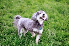Schnoodle playing in a dog park. Royalty Free Stock Photos