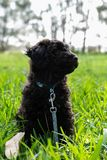 Schnoodle puppy dog looking cute. In long grass stock images