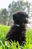 Schnoodle puppy dog sitting looking cute in long grass. In Australia stock photos