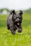 Schnoodle Royalty Free Stock Images